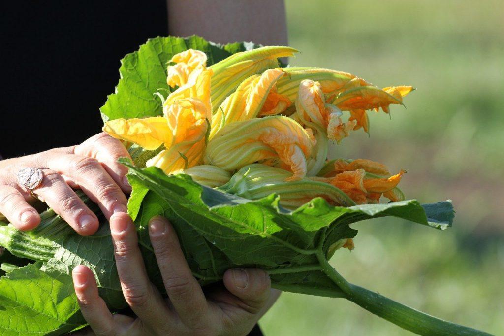 Personne cueillant des fleurs de courgettes