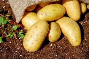 Pomme de terre poser dans de la terre et sortant d'un sac en jute