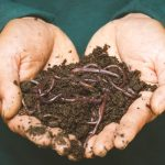 Main tenant de ma terre avec des lombric pour faire du compost